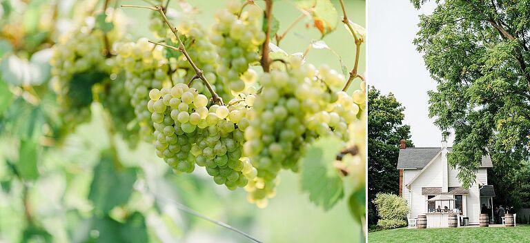 Grapes at Aurora Cellars on the Leelanau Peninsula in Michigan